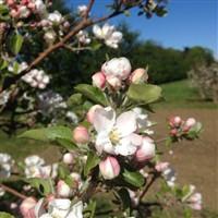 Evesham Blossom