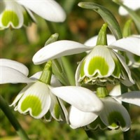 Scottish Snowdrops All Inclusive